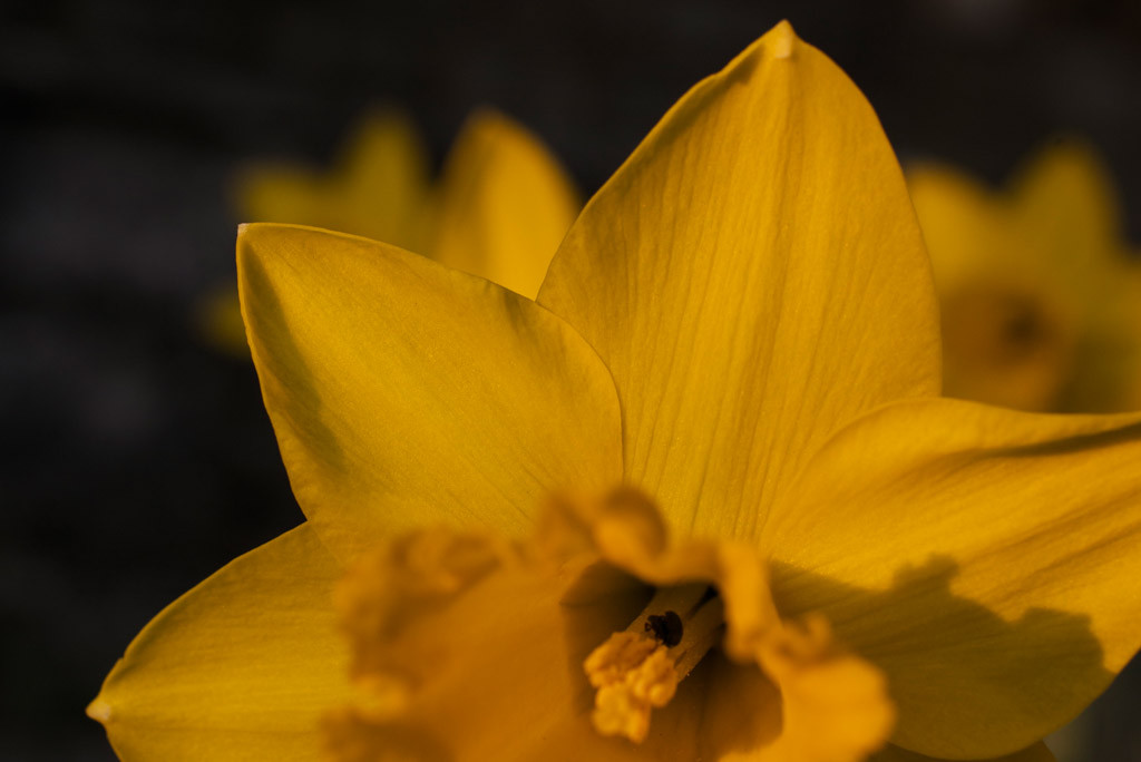 03-March-Daffodil-2