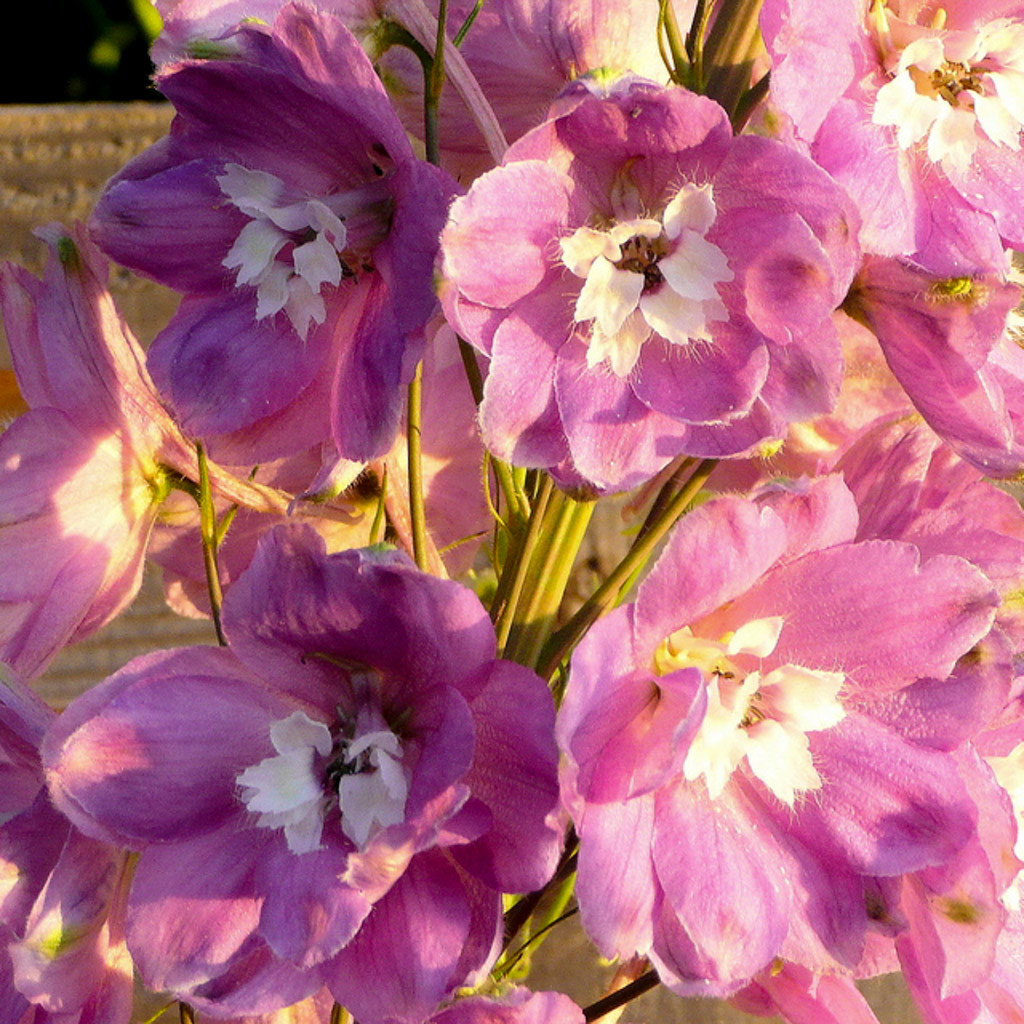 July birth flower Delphinium