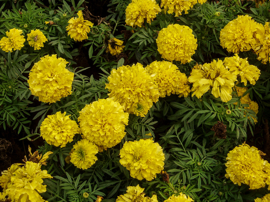 October Birth Flower Marigold Prince George Florists