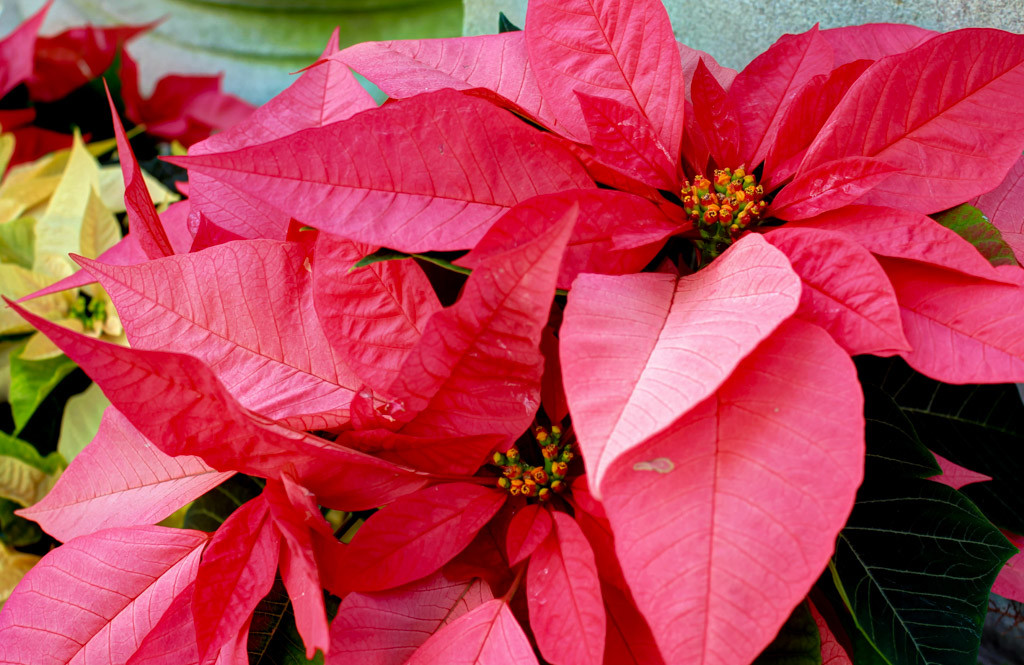 December birth flower Poinsettias